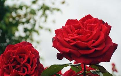 Cup Week roses to thank frontline workers